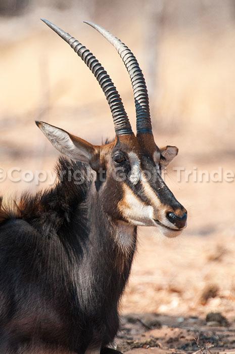 Sable Antelope, Botswana