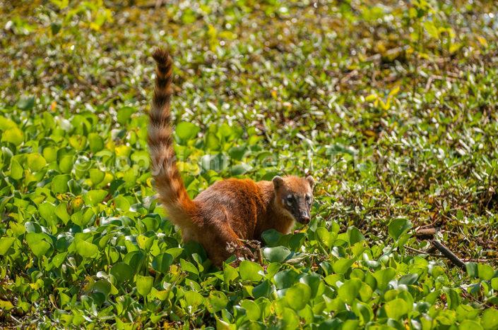 South American Coati - Brazil