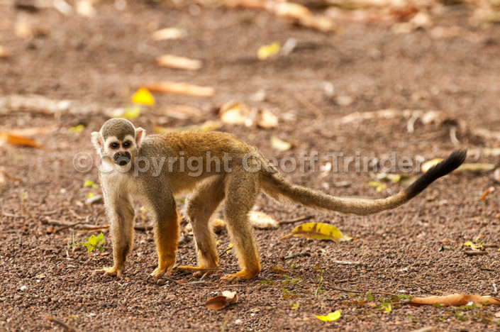 Squirrel Monkey - South-America