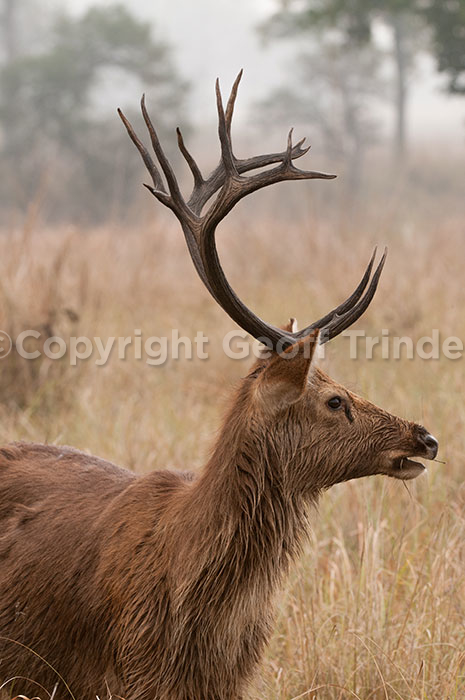 Swamp Deer, India