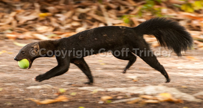 Tayra - South-America