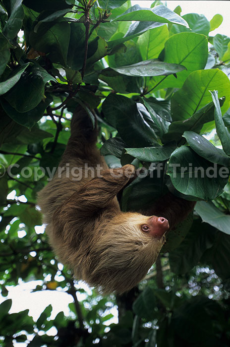 Two-toed Sloth - Costa-Rica