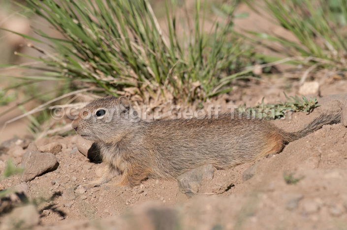 Uinta Ground Squirrel - USA