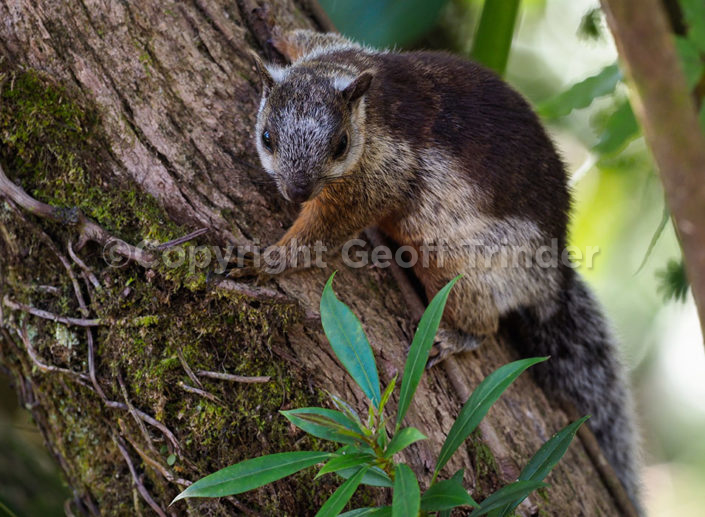 Variegated Squirrel - Costa-Rica