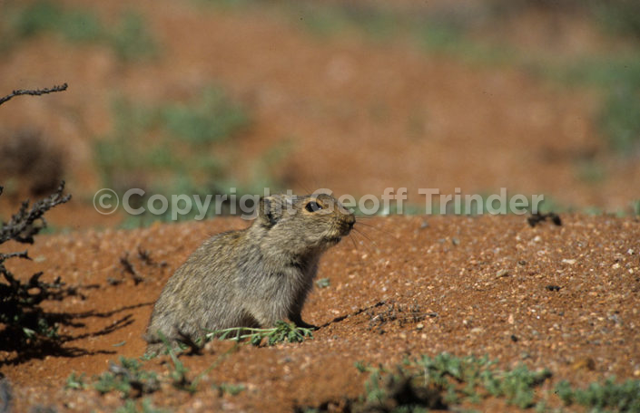 Whistling Rat - South Africa
