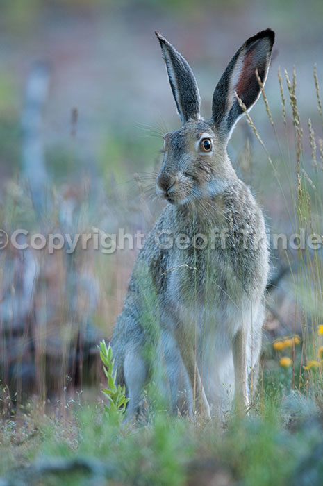 White-tailed Jack Rabbit - USA