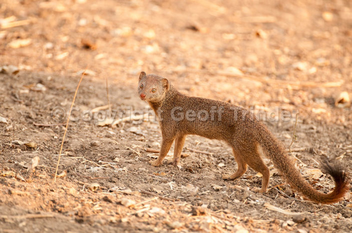 Yellow Mongoose Zambia
