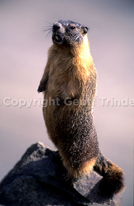 Yellow bellied Marmot USA